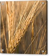 Golden Grain Acrylic Print by Cindy Singleton