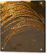 Golden Grass Acrylic Print
