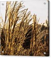Golden Grass Flowers Acrylic Print
