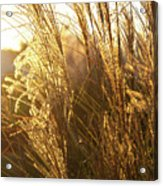 Golden Grass In Sunset Acrylic Print