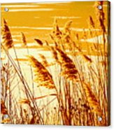 Golden Grasses Acrylic Print