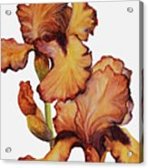 Golden Iris Acrylic Print