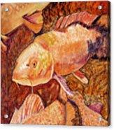 Golden Koi Acrylic Print