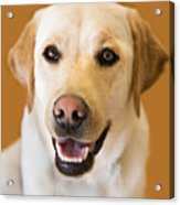 Golden Lab Acrylic Print
