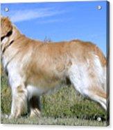 Golden Labrador - Cheemo Acrylic Print