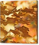 Golden Light Autumn Maple Leaves Acrylic Print