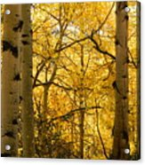 Golden Light Acrylic Print