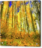 Golden Light Of The Aspens - Colorful Colorado - Aspen Trees Acrylic Print