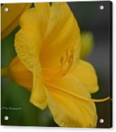 Golden Lily 18-2 Acrylic Print