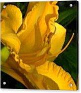 Golden Lily Watercolor Acrylic Print