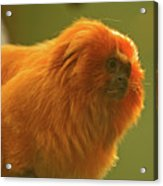 Golden Lion Tamarin Acrylic Print