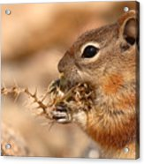 Golden-mantled Ground Squirrel Eating Prickly Spine Acrylic Print