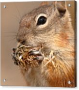 Golden-mantled Ground Squirrel Nibbling On A Bite Acrylic Print