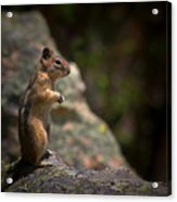 Golden Mantled Ground Squirrel Rocky Mountains Colorado Acrylic Print