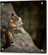 Golden Mantled Ground Squirrel Rocky Mountains Colorado Acrylic Print