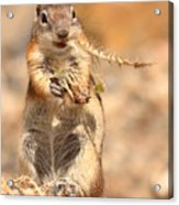 Golden-mantled Ground Squirrel With A Prickly Bite Acrylic Print
