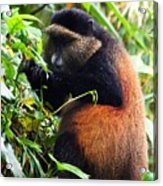 Golden Monkey II Acrylic Print