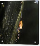 Golden Orb Spider Acrylic Print