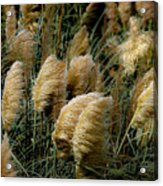 Golden Pampas In The Wind Acrylic Print