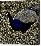Golden Peacock Acrylic Print