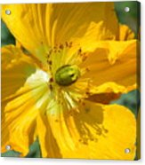 Golden Poppy Expose Acrylic Print