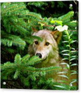 Golden Red Wolf Acrylic Print by Debra     Vatalaro
