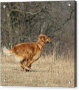 Golden Retriever 2 Acrylic Print