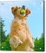 Golden Retriever Catch The Ball  Acrylic Print