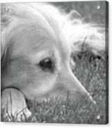 Golden Retriever Dog In The Cool Grass Monochrome Acrylic Print
