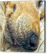 Golden Retriever Dog Little Tongue Acrylic Print by Jennie Marie Schell