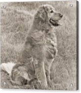 Golden Retriever Dog Sepia Acrylic Print