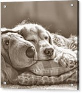 Golden Retriever Dog Sleeping With My Friend Sepia Acrylic Print