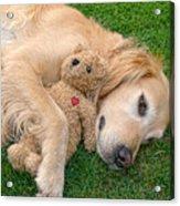 Golden Retriever Dog Teddy Bear Love Acrylic Print