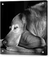 Golden Retriever Dog With Master's Slipper Black And White Acrylic Print by Jennie Marie Schell