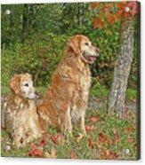 Golden Retriever Dogs In Autumn Acrylic Print