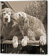Golden Retriever Dogs The Kiss Sepia Acrylic Print