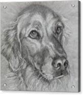 Golden Retriever Drawing Acrylic Print