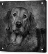 Golden Retriever In Black And White Acrylic Print