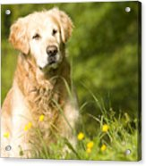 golden Retriever in garden Acrylic Print
