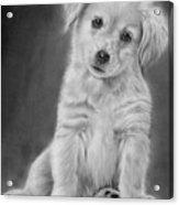 Golden Retriever Puppy Drawing Acrylic Print