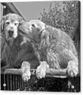 Golden Retrievers The Kiss Black And White Acrylic Print by Jennie Marie Schell