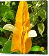 Amazing Golden Shrimp Plant  Acrylic Print