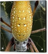 Golden Silk Spider 1 Acrylic Print