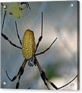 Golden Silk Spider 2 Acrylic Print
