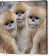 Golden Snub-nosed Monkey Rhinopithecus Acrylic Print