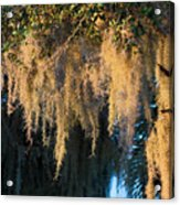 Golden Spanish Moss Acrylic Print