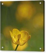 Golden Summer Buttercup 2 Acrylic Print
