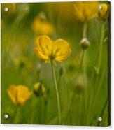 Golden Summer Buttercup 3 Acrylic Print