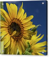 Golden Sunflower Acrylic Print