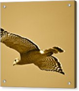 Golden Sunlight On Hawk Acrylic Print